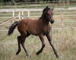 Canaa du Rigodon  poney a vendre Gap