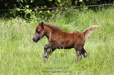 Clin d'oeil du Rigodon poney shetlend a vendre