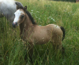 deseret storm poney welsh a vendre
