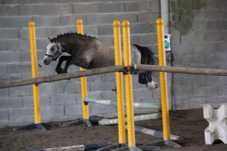 poney welsh a vendre Gap