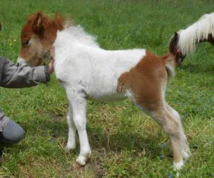 Djammin' Du Rigodon poney shetland a vendre