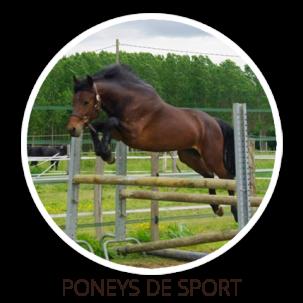 Poney de sport