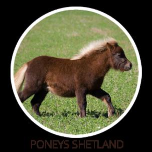 Poney shet