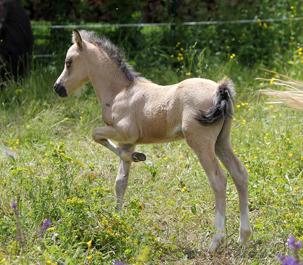 Dimoi oui Du rigodon poney welsh a vendre
